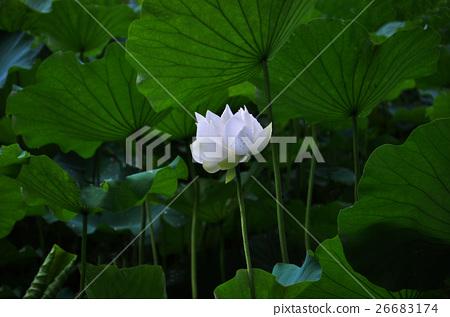Lotus 26683174