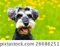 개, 강아지, 얼굴 26686251