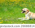 개, 강아지, 래브라도 리트리버 26686814