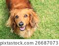 개, 강아지, 미니 닥스훈트 26687073