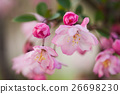 bloom, blossom, blossoms 26698230