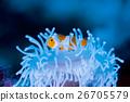 anemone fish, anemonefish, clown anemonefish 26705579