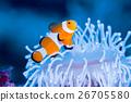 anemone fish, anemonefish, clown anemonefish 26705580