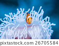 小丑anemonefish和被漂白的海葵 26705584