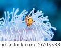 小丑anemonefish和被漂白的海葵 26705588