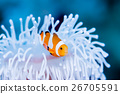 anemone fish, anemonefish, clown anemonefish 26705591