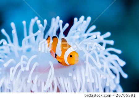 Clown anemonefish and whitened sea anemone 26705591