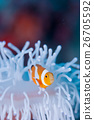 anemone fish, anemonefish, clown anemonefish 26705592