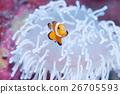 小丑anemonefish和被漂白的海葵 26705593