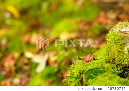 maple, yellow leafe, fallen leaves 26710733