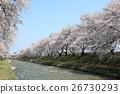 배 강변 벚꽃길 26730293