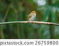 Rufous-browed Flycatcher perch on branch 26759800