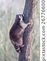 Raccoon up a tree 26776600