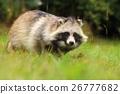Corpulent raccoon dog 26777682