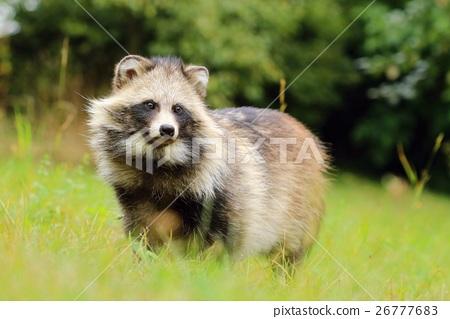 Fat raccoon dog 26777683