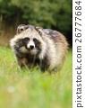 Adorable raccoon dog 26777684