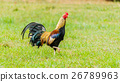 colorful rooster on green nature background 26789963