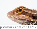 one agama bearded on the white background 26811717