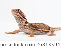 one agama bearded on the white background 26813594