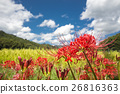 cluster amarylli, red spider lily, cluster amaryllis 26816363
