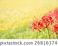 cluster amarylli, red spider lily, cluster amaryllis 26816374