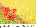 cluster amarylli, red spider lily, cluster amaryllis 26816376