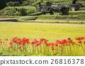 paddy field, rice field, cluster amarylli 26816378
