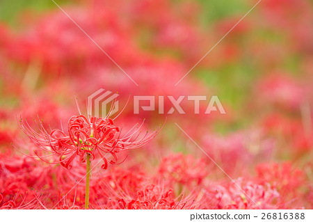 Red shadow of flower and flower of Manjshaghe 26816388