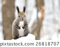 squirrel, squirrels, small 26818707