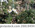 菊花 植物 植物學 26819494