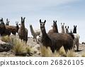 Llamas around the bolivian salt desert, Bolivia 26826105