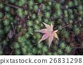 autumnal, fall, maple 26831298