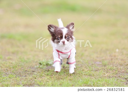 Stock Photo: chihuahua, doggy, lapdog