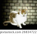 felidae, stray cat, cat 26834722