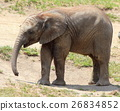 african, elephant, baby 26834852