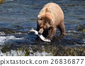 brown, bear, salmon 26836877