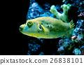 balloon fish 26838101