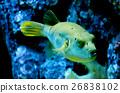 balloon fish 26838102