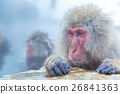 Snow monkey Macaque Onsen 26841363