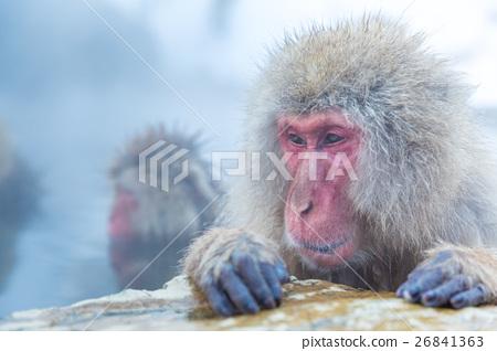 Snow monkey Macaque Onsen 26841363