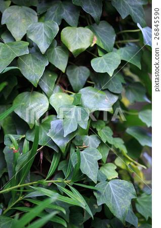 덩굴 잎 26845590