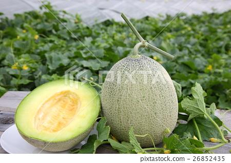 Sweet net melon 26852435
