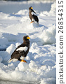 堪察加海鷹 海鷹 恆星的海鷹 26854315