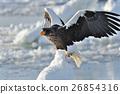 堪察加海鷹 海鷹 恆星的海鷹 26854316
