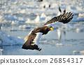 堪察加海鷹 海鷹 恆星的海鷹 26854317