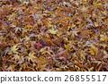 楓樹 紅楓 楓葉 26855517