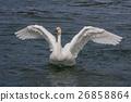 백조의 날개 짓 26858864