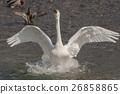 백조의 날개 짓 26858865