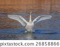 백조의 날개 짓 26858866