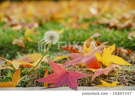 美麗的蒲公英和五顏六色的楓葉 26865347